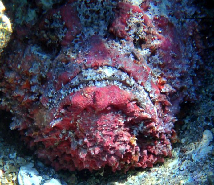 Pink Stonefish_695x600
