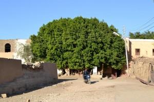 albero in Luxor_800x533