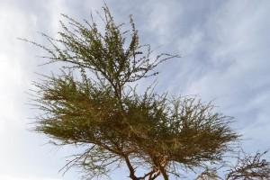 albero solitario del deserto_800x533