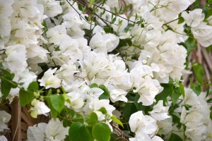 bougainvilliers blanches_800x533