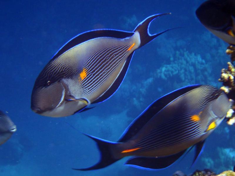 pesce sohal chirurgo