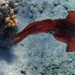 Red Sea squid_637x600