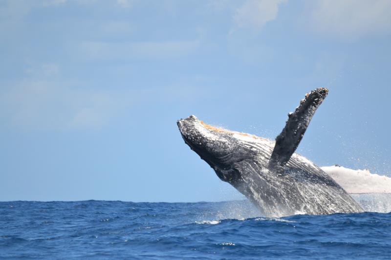 baleine à bosse (Copy)