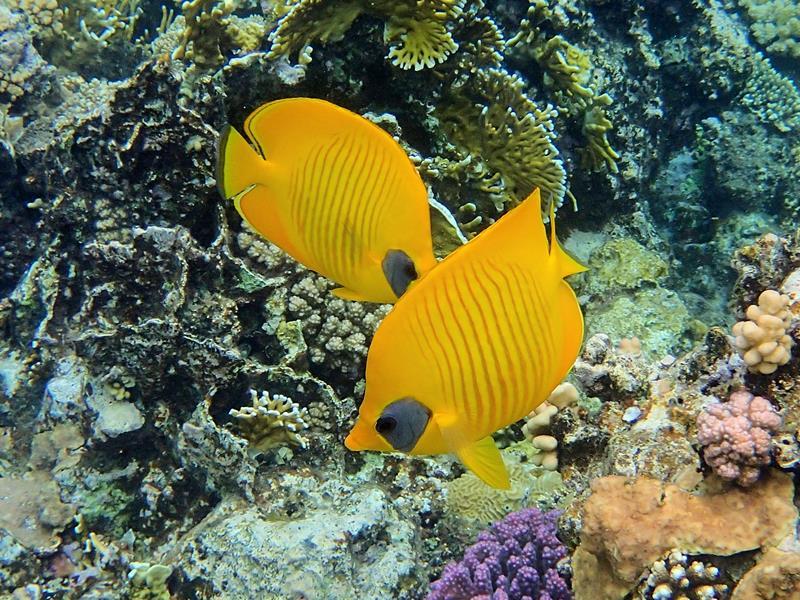 papillon jaune masqué couple